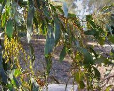 Image result for acacia pycnantha  trees