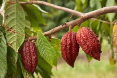 Chocolate is a product of the cacao beans. Gyarko farms in ghana providing high quality cocoa beans and cashew nuts at good prices: #cocoabeans, #cocoaghana, #cocoafarms