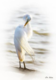 Wrapped and Preened by Ola Allen Great Egret at Lion's Bridge in Newport News, VA