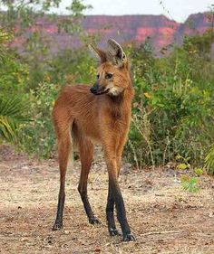 The maned wolf is the largest canid of South America, resembling a large fox with reddish fur. This mammal is found in open and semi-open habitats, especially grasslands with scattered bushes and trees, in south, central-west and south-eastern Brazil (Mato Grosso, Mato Grosso do Sul, Minas Gerais, Goiás, São Paulo, Federal District and recently Rio Grande do Sul), Paraguay, northern Argentina, Bolivia east and north of the Andes, and far south-eastern Peru (Pampas del Heath only). It is very…