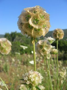 40 Seeds w/Instructions A delightful plant for garden use with spherical heads, 1 - in diameter, each composed of twenty or so individual, pal Unusual Flowers, Rare Flowers, Cut Flowers, Paper Moon, Rare Plants, Exotic Plants, Scabiosa Pods, Garden Soil, Flowers Perennials