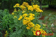 tansy plant at DuckDuckGo Beneficial Insects, Insect Repellent, Garden Seeds, Thomas Jefferson, Live Plants, Medicinal Plants, Korn, Perennials, Herbs