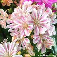 スベリヒユ科のお花で、別名、岩花火(イワハナビ)ともいわれている多年草のお花です。 たしかに花火のようなお花ですね。花色も綺麗です。★花言葉:ほのかな思い  観葉植物やお花など育て方のご質問用 掲示板もございます。→ http://www.bloom-s.co.jp/wforum/wforum.cgi  #花 #レウイシア #育て方 #flower #lewisia
