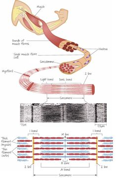 Overview of the structure of striated muscle, with details of the myofibril and the sarcomere. Human Body Anatomy, Human Anatomy And Physiology, Muscle Anatomy, Physical Therapy School, Musculoskeletal System, Medicine Student, Muscular System, Medical Anatomy, Biochemistry