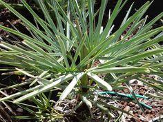 Palmier nain bleu, Chamaerops humilis var cerifera : conseils de culture
