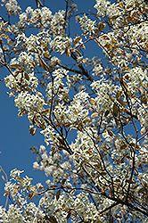 Princess Diana Serviceberry (Amelanchier x grandiflora 'Princess Diana') at Gertens