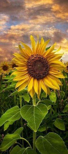 23 ideas for wallpaper flores bloemen Sunflower Garden, Sunflower Art, Sunflower Fields, Sunflowers And Daisies, Pretty Flowers, Yellow Flowers, Growing Sunflowers, Sun Flowers, Sunflower Pictures