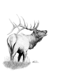 Elk Drawing - Hunters Target by Kayleigh Semeniuk Animal Sketches, Animal Drawings, Pencil Drawings, Art Drawings, Elk Drawing, Hunting Drawings, Wilderness Tattoo, Elk Pictures, Elk Tattoo
