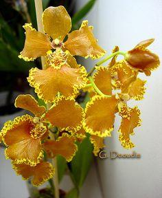 Brasilidium forbesii, inflorescence   Flickr - Photo Sharing!