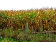 Cornfields in Fairfield, Iowa
