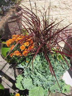 Fireworks grass, orange mum, and ornamental cabbage for a great fall container!
