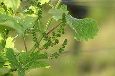 Grains de raisin en devenir dans la Loire.