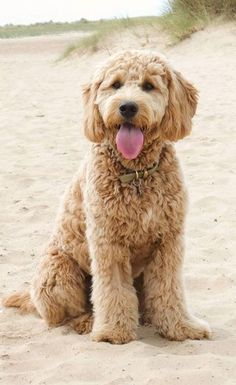 Chien Goldendoodle, Goldendoodle Grooming, Dog Grooming, Standard Goldendoodle, Goldendoodle Haircuts, Cute Dogs And Puppies, Pet Dogs, Pets, Beagle Dog
