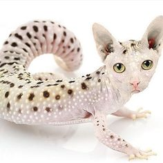 This image isn't as effective to me. Although the original cat face color does partly match the lizard it doesn't look good in my opinion. It doesn't blend all that well so it's not effective in my opinion