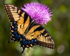 Swallowtail butterfly i love this butterfly Flying Flowers, Butterfly Flowers, Love Flowers, Butterflies, Amazing Transformations, World Of Color, Birds, Nature, Thistles