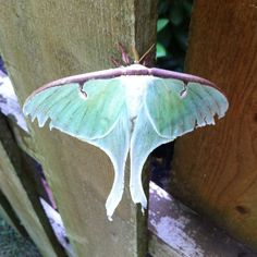 We were out digging in the garden when this fellow landed on our fence. Not sure what species... but exotic-looking for sure!