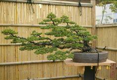 Kinugawa bonsai