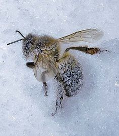 ~ Frozen Bee ~