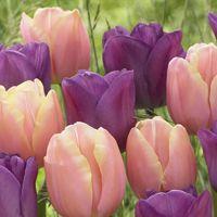 Magic Charm Tulip Blend ~ New Bulbs for 2015