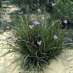 Patersonia occidentalis native Iris Sun to partial shade x Australian Native Garden, Australian Native Flowers, Australian Plants, Australian Wildflowers, Pine Tree Art, Pine Tree Tattoo, Outdoor Plants, Garden Plants, Pool Landscape Design