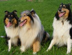collies   In der Wohnung merke ich kaum, daß 3 Hunde da sind. Getobt wird ...