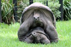 """Went to the Fort Worth Zoo yesterday to see a baby elephant and got an education in mating habits of Aldabra giant tortoises and rare photo op instead. Apparently, they are on the """"vulnerable to extinction"""" list so this is a very good thing. Kawaii Turtle, Fort Worth Zoo, Giant Tortoise, Tortoises, Rare Photos, Baby Elephant, Under The Sea, Vulnerability, Mary"""