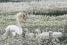 As a child we went to Beaver Dam every spring to see the baby swans.