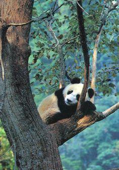 giant panda is sooooo beautiful !        me ne sto qui… a ciondolare tra i rami…