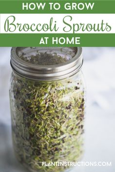 indoor benefits How to Grow Broccoli Sprouts at Home Keep reading to find out more about how to grow broccoli sprouts at home! It's actually super easy, and the health benefits are innumerable! Growing Sprouts, Growing Microgreens, Growing Herbs, How To Grow Sprouts, Growing Vegetables, Broccoli Sprouts Benefits, Organic Gardening, Gardening Tips, Gardens