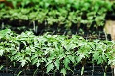 tomato seedlings .........