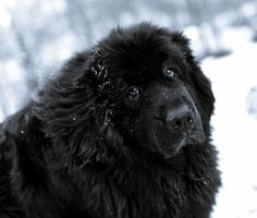 This looks just like my Mr. Data.  Even though he was a mixed breed, everyone thought he was a Newfoundland.
