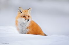 Red Fox by Dave_v #animals #animal #pet #pets #animales #animallovers #photooftheday #amazing #picoftheday