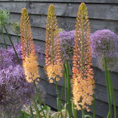 Foxtail Lily 'Cleopatra' Eremurus. Fine gardening recommends peach flowers for neutralizing a color palate. They look amazing next to alliums. Very Dr. Suess.
