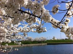 This is DETROIT - Cherry Blossoms at Belle Isle