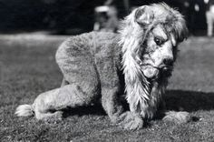 """Although the Nittany Lion mascot was """"born"""" in 1904, many years passed before he appeared at athletic events, and even then it was as an African lion. This is the very first photo known to have been taken of the Nittany Lion at a football game--a Penn State vs. Syracuse contest held at New York's Polo Grounds on Oct. 28, 1922, where the two teams played to a scoreless tie."""
