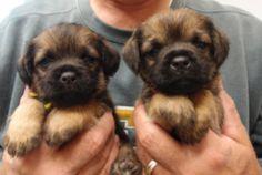 border terrier puppies   Tumblr