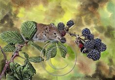 Bank Vole Rodent Print in Watercolor Cute Rodent by DevonArtist