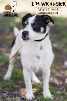 Wrangler is as cute and as funny as his adorable underbite. #AdoptTerrier