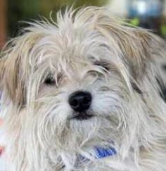 Terrier Dog in San Jose, CA. Loki is a fun,cute, playful Cairn Terrier ...