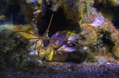 Spider crab (Stenorhynchus seticornis)