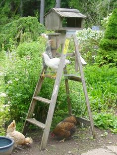 My chickens would love this