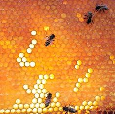 A single honeybee will only produce approximately 1/12 teaspoon of honey in her lifetime.
