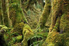 Hoh-Regenwald
