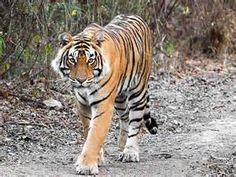 Indian National Animal - Tiger