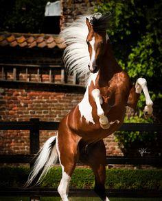 Equine Essentials — Absolut K - Partbred Arabian Gelding