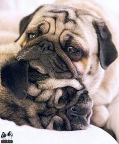 Did you know pugs are connoisseurs of all things autumnal?with pugs. Pug Love, I Love Dogs, Cute Dogs, Raza Pug, Funny Animals, Cute Animals, Jungle Animals, Pug Pictures, Pug Photos