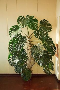 Monstera deliciosa is a species of flowering plant native to tropical rainforests of southern Mexico, south to Colombia. It has been introduced to many tropical areas, and has become a mildly invas...