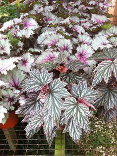 Begonia 'Pink Minx' in the foreground, Begonia 'Celia' behind it.