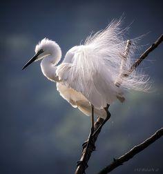 White Dress - White Egret....