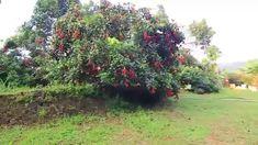 India's First Rambutan Farm